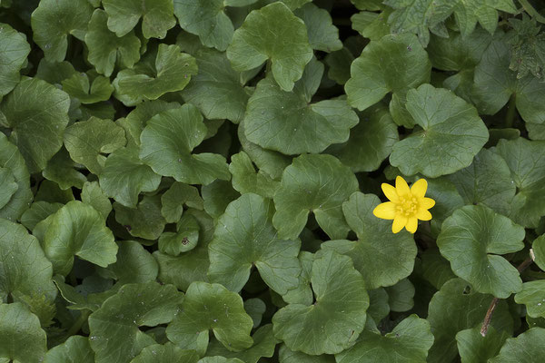 179 Ranunculus ficaria, Scharbockskraut