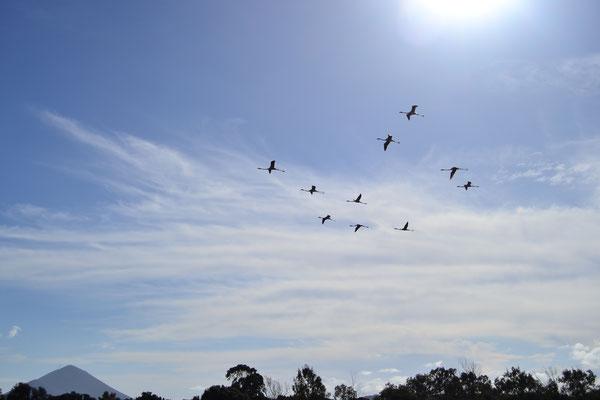 Flamingos bei Pylos