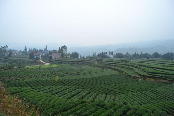 Auf dem Weg in die Berge, vorbei an Teeplantagen