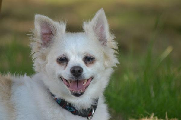 Püppi - Chihuahua