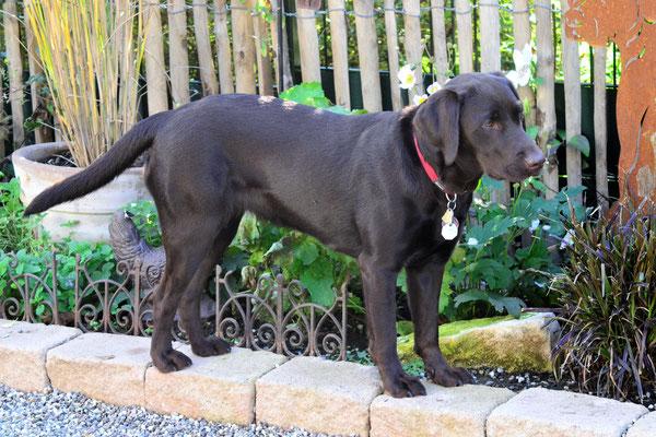 Lotta - Labrador Hündin