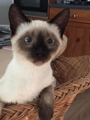 Nala - Siam Mix Katze (Dillingen)