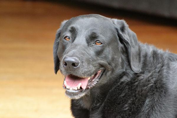 Laika - Labrador Hündin