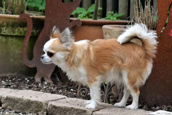 Pablo - Chihuahua Rüde
