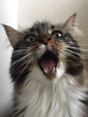 Vivi - Maine Coon Katze (Göttelborn)