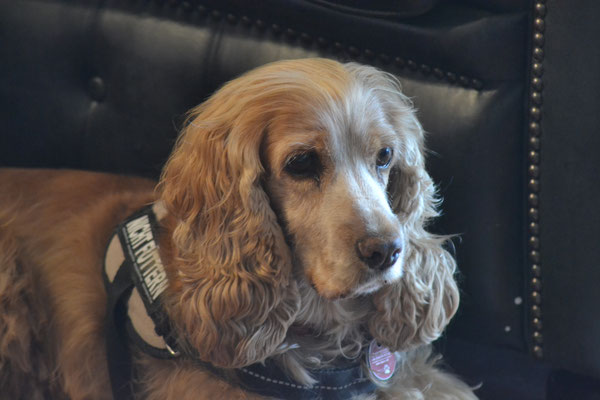 Kati - Cocker Spaniel