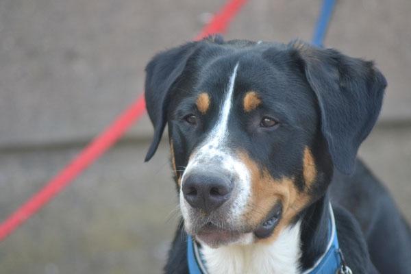 Sully - Großer Schweizer Sennenhund