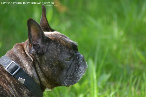 Sammy - French Bulldogge
