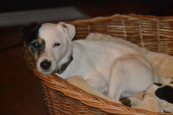 Pukki - Parson Russell Terrier Rüde