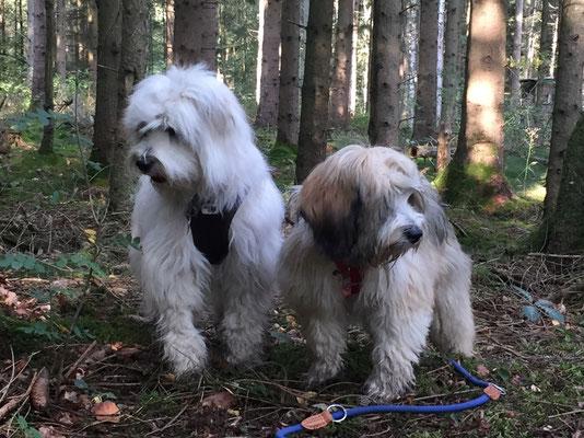 Emma & Hanna - Tibet Terrier Hündinnen