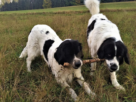 Betty & Lissy - Landseer auf Maien - Schwarzenholz