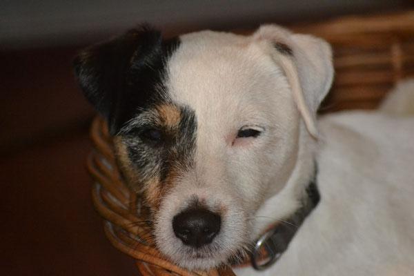 Pukki - Parson Russell Terrier