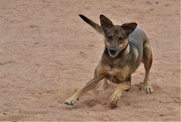 Ivy - Mischling (Hofhund) - Nalbach