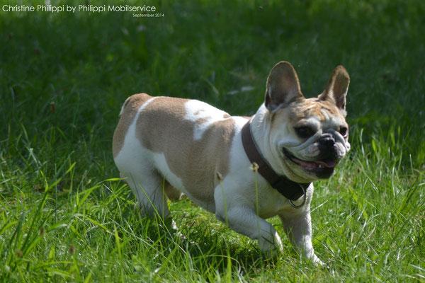 Rocky - French Bulldogge Rüde