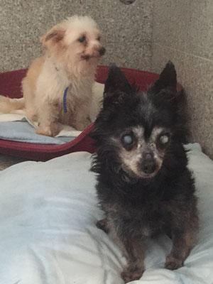 2 Chihuahua - Hülzweiler