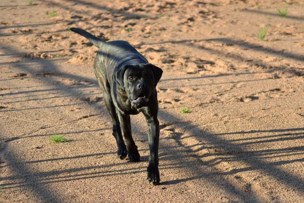 Luna - Cane Corso (Hofhund) - Nalbach