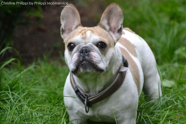 Ringo - French Bulldogge