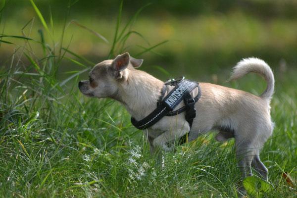 Diaz - Chihuahua Rüde