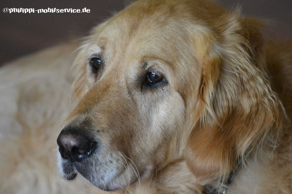 Paul - Golden Retriever