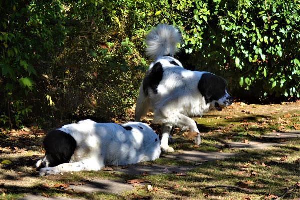 Betti & Lissi - Landseer Zuchthunde Schwarzenholz