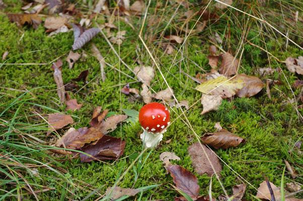Petit champignon des bois Amanite tue mouche