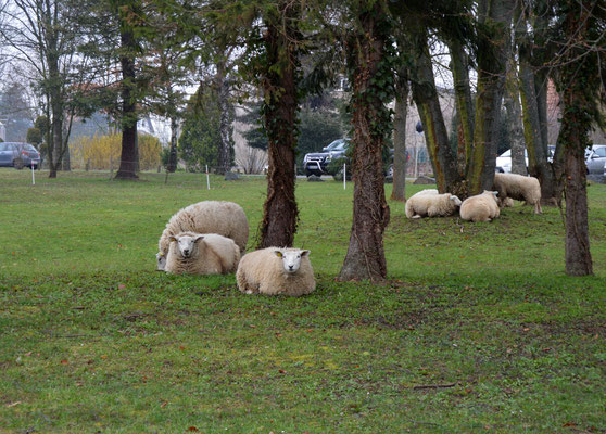 Les moutons qui vont entretenir la houblonière sont les vedettes de l'année.