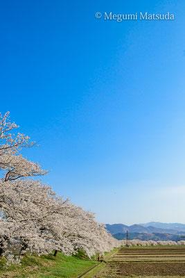 神通川・塩の千本桜(富山市)