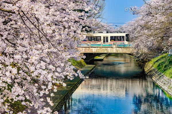 松川べりの桜と市電(富山市)