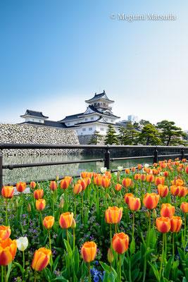 富山城とチューリップ(富山市)