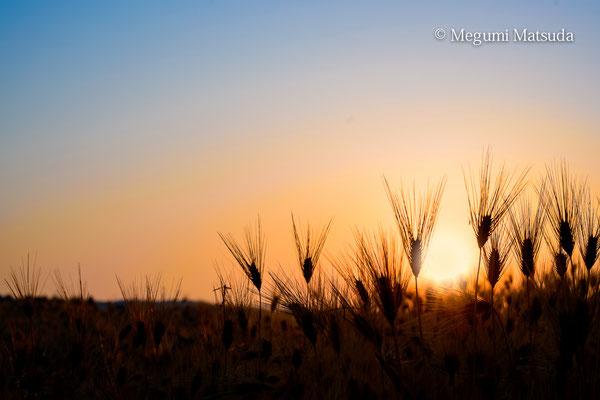 麦畑(富山市)