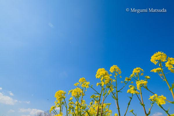 菜の花(富山市)