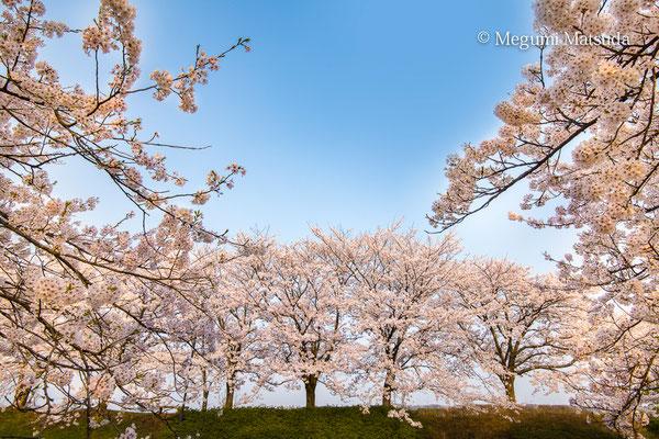護国神社松川の桜(富山市)