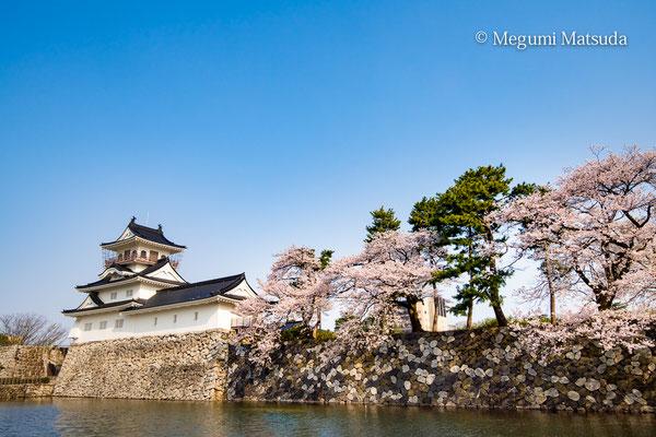 富山城の桜(富山市)