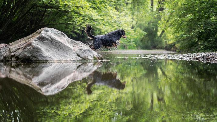 Jump (Shiry, Aussie - Australian Shepherd, 7 Jahre)  - Daniila di Sein Hundefotografie, Actionfotografie