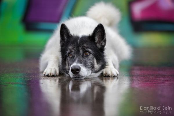 Piper (Groenlandhund)