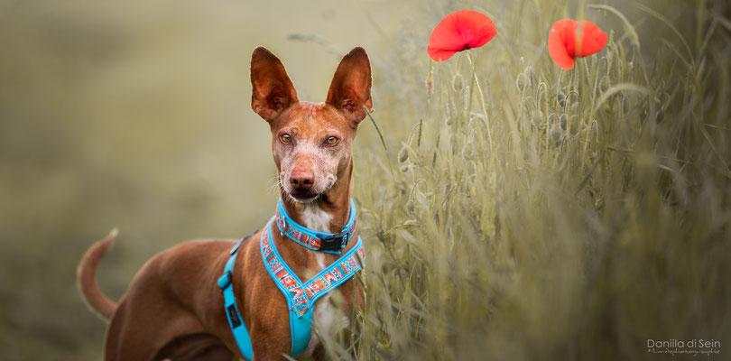 Cana (Podenca, 5 Jahre) - Daniila di Sein Hundefotografie