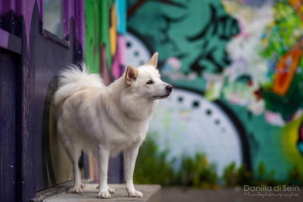 Nuala (Islandhund)