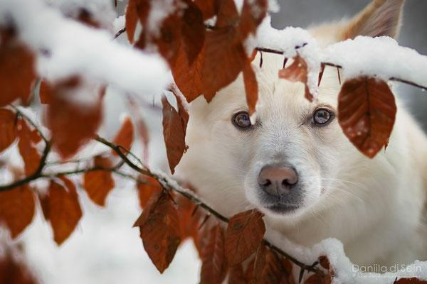 Nuala, Islandhund - Hundefotografie www.daniila-disein.ch
