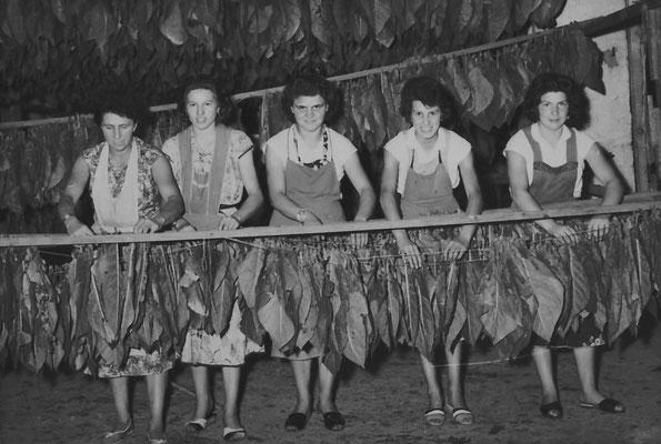 Gruppo di cinque lavoratrici della Macera/ Masera, intente a stendere foglie di tabacco: Armida Stenico in Santuari, Cornelia Santuari, Rina Pilati, Carla Betta, Gemma Bampi
