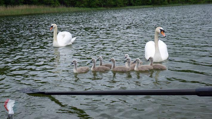 Schwanenfamilie bei den Jungs.