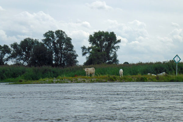Da stauen die Kühe.