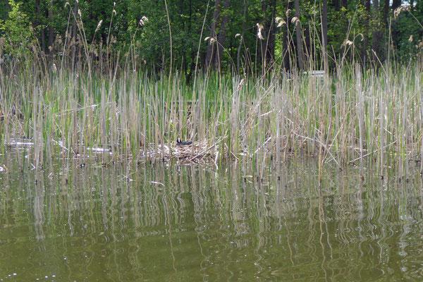 Wasservögel in ihren Nestern beobachten.