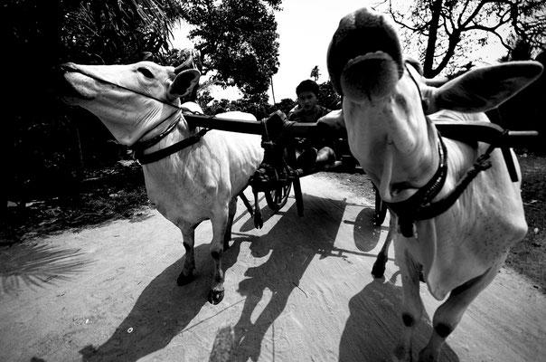 Giro sul carretto trainatto dalle mucche_Cambogia 2015