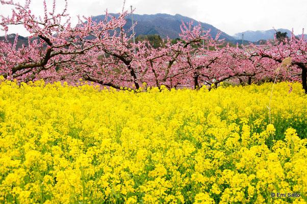 桃源郷(菜の花と桃の花)