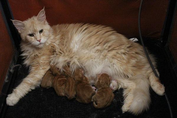 naissance le 15 05 2016 de 5 chatons roux elevage de chat maine coon ile de france 78. Black Bedroom Furniture Sets. Home Design Ideas