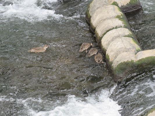 堰とカルガモ_目久尻川相模川合流点付近