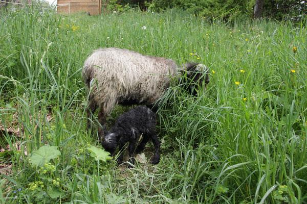 Das Lamm mit seiner Mutter Isa