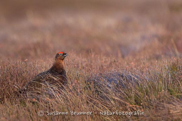 Moorschneehuhn (Lagopus lagopus), Schottland