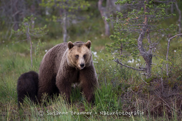 Europäischer Braunbär (Ursus arctos arctos), Finnland 2016
