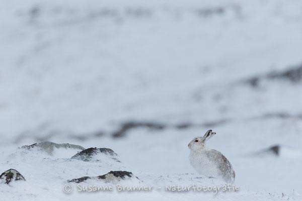 Schneehase (Lepus timidus), Schottland